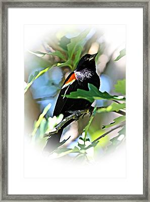 Redwing Strikes A Pose Framed Print