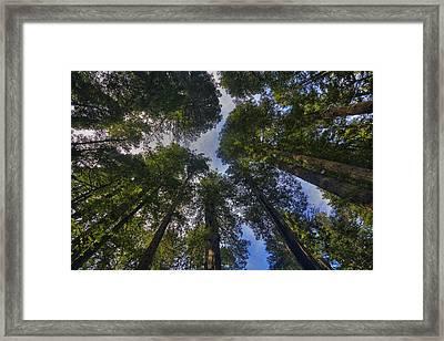 Redwood Canopy Framed Print by Mark Kiver