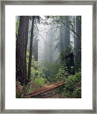 Redwood Mist Framed Print