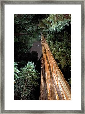 Redwood (sequoia Sempervirens) Trees Framed Print