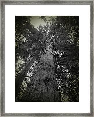 Redwood Tree Framed Print