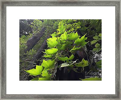 Redwood Trees And Ivy  Leaves Framed Print by Wernher Krutein