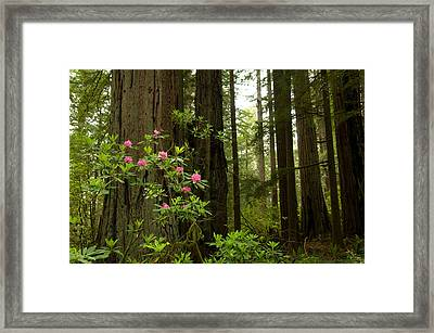 Redwood Trees And Rhododendron Flowers Framed Print
