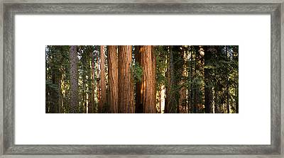 Redwood Trees In A Forest, Sequoia Framed Print