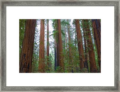 Redwood Trees Framed Print by Panoramic Images