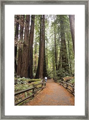 Redwood Trees Framed Print