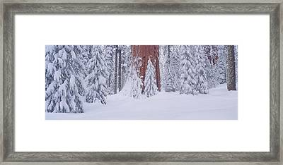 Redwoods And Winter Snow In The Giant Framed Print by Panoramic Images
