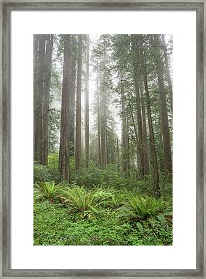 Redwoods, Lady Bird Johnson Grove Framed Print by Rob Sheppard