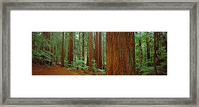 Redwoods Tree In A Forest Framed Print