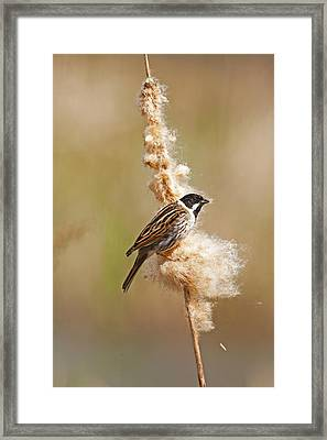 Framed Print featuring the photograph Reed Bunting On Reed Mace. by Paul Scoullar