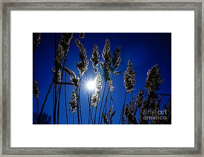 Reed Framed Print by Jan Wolf