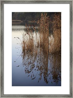 Reed Reflections Framed Print by Shirley Mitchell