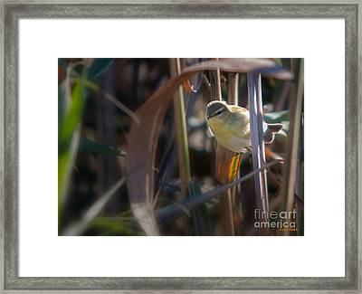 Reed Warbler Framed Print by Jivko Nakev