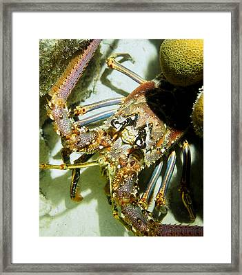 Reef Lobster Close Up Spotlight Framed Print by Amy McDaniel