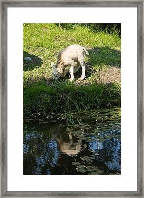 Reflected Cute Little Lamb Framed Print