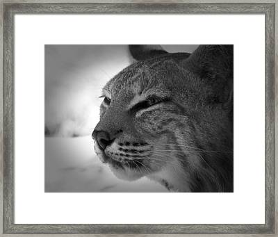Reflecting Bobcat... Framed Print by Christena Stephens