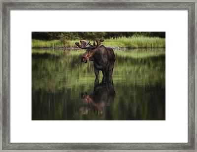 Reflecting Bull Framed Print