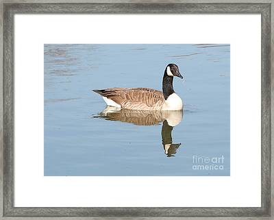 Reflecting Canadian Goose Framed Print by Carol Groenen