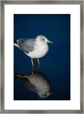 Reflecting Gull Framed Print by Karol Livote