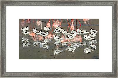 Reflection Of Avocets And Flamingos Framed Print