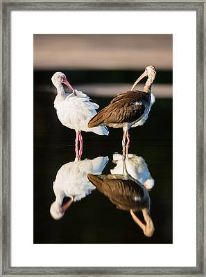 Reflection Of Two Young Ibis Framed Print by Andres Leon