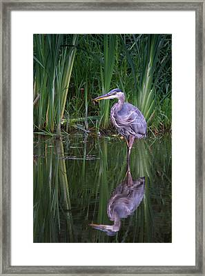 Reflections - Great Blue Heron  Framed Print by Doug Underwood