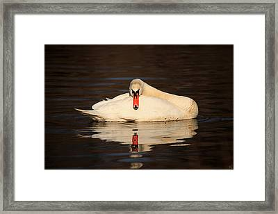 Reflections Of A Swan Framed Print by Karol Livote