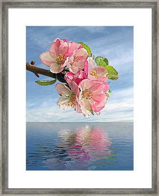 Reflections Of Spring At Apple Blossom Time Framed Print by Gill Billington