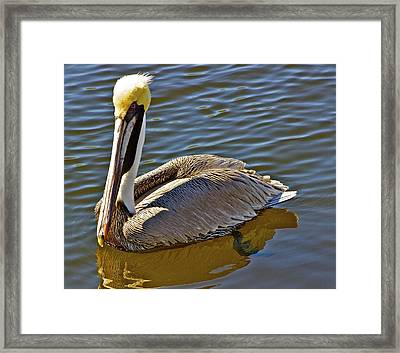 Reflective Pelican Framed Print by Alice Mainville