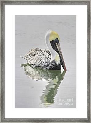 Reflective Pelican Framed Print by Deborah Benoit