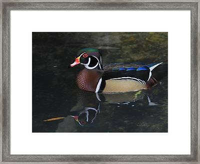 Reflective Wood Duck Framed Print by Deborah Benoit