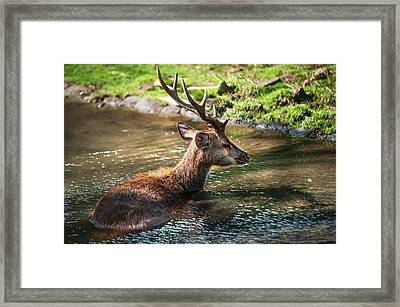 Refreshing 2. Male Deer In The Pampelmousse Botanical Garden. Mauritius Framed Print