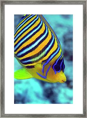 Regal Angelfish Framed Print