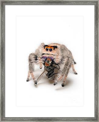 Regal Jumping Spider With Prey Framed Print