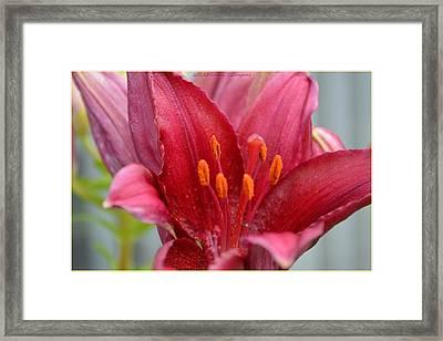 Regal Lily Framed Print by Sonali Gangane