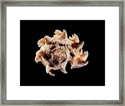 Regal Murex Sea Snail Shell Framed Print by Gilles Mermet