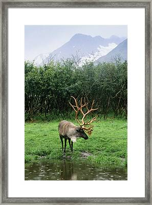 Reindeer Grazing In A Grass Meadow Framed Print by Angel Wynn