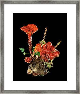 Reishi Fungus Framed Print by Gilles Mermet