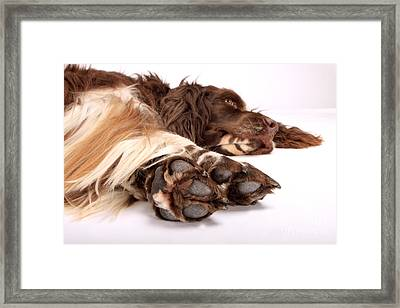Relaxed Spaniel Framed Print by Christine Steimer