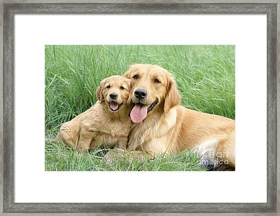 Relaxing Retrievers Framed Print by Greg Cuddiford