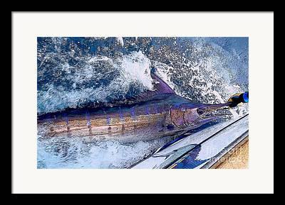 Striped Marlin Photographs Framed Prints