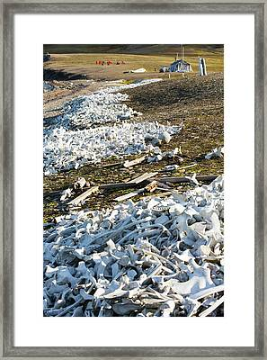 Remains Of Beluga Whales Framed Print