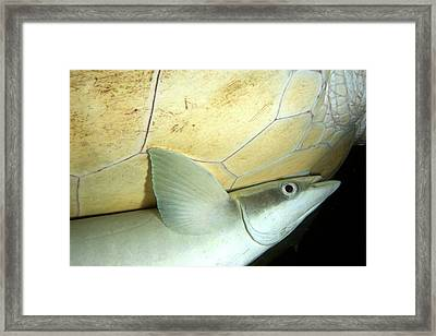 Remora Attached To Turtle Framed Print by Louise Murray