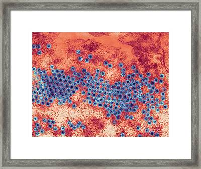 Reovirus Particles, Tem Framed Print by Ami Images