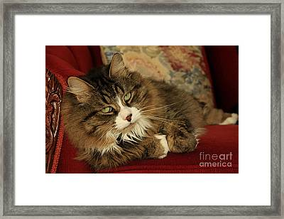 Rescue Cat Living In The Lap Of Luxury Framed Print by Inspired Nature Photography Fine Art Photography