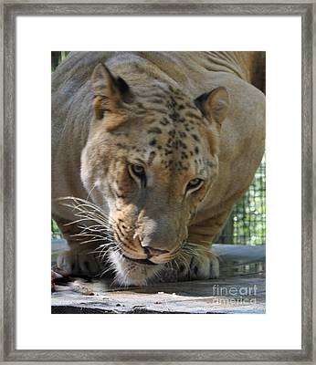 Rescued Liger Framed Print by Pam Schmitt