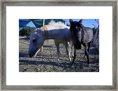 Rescued Mustangs Framed Print