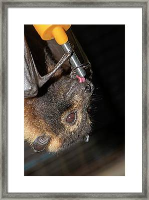 Rescued Spectacled Fruit Bat Framed Print by Louise Murray