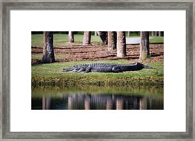 Resident Alligator At Osprey Point Framed Print