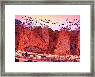 Respiratory Epithelium Framed Print